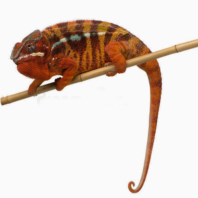 Furcifer  pardalis